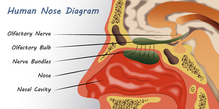 인간의 코 다이어그램 일러스트