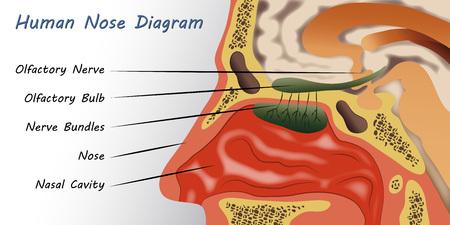 Menselijke neus Diagram Stock Illustratie