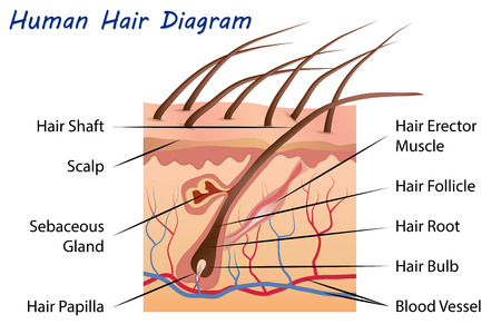 sebaceous gland: Human Hair Diagram