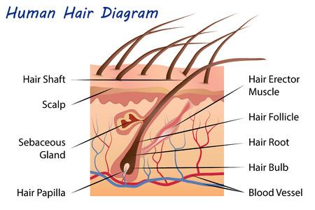 sebaceous: Human Hair Diagram