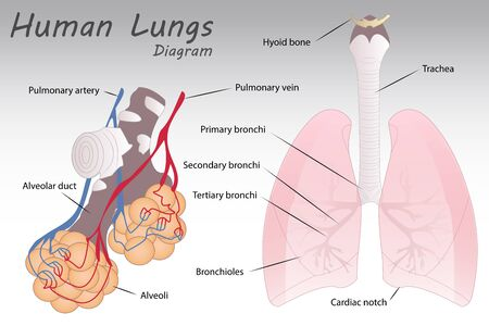 lung alveoli: Human Lungs Diagram Illustration