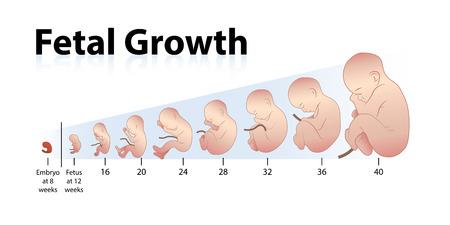 growth: Fetal Growth