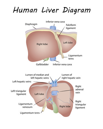 Human Liver Diagram.