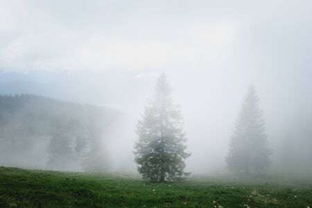 Mythical appearing spruces which are enveloped in fog