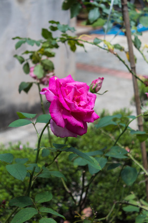 Pink Rose Flower in the Garden
