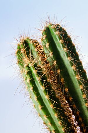 with spines: Green cactus plant with spines on blue sky