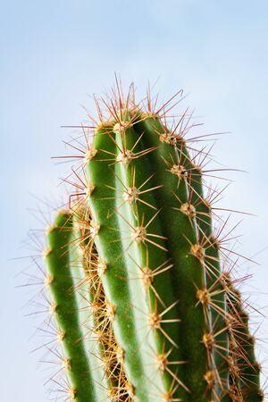 spines: Green cactus plant with spines on blue sky
