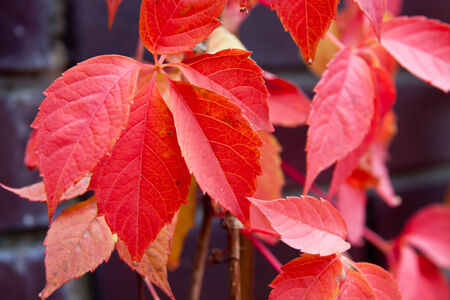 colorful tree: Autumn season red colorful tree leaves background