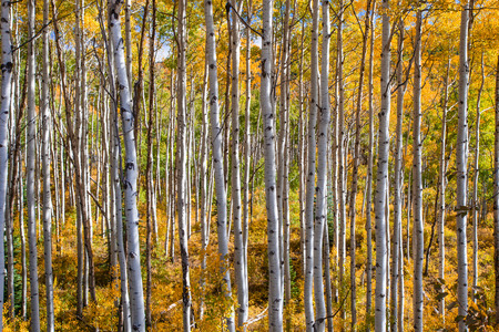 aspen leaf: A forest of colorful aspen trees in fall.