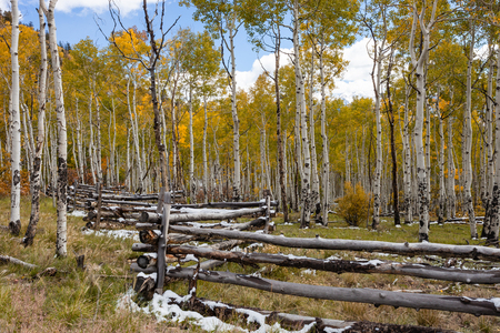 aspen grove: Aspen Grove with a wooden rail fence along the Last Dollar Road in Colorado. Stock Photo