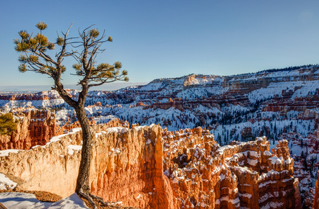 winter sunrise: Lone bristle cone pine tree looking out over the Amphitheater at Bryce Canyon National Park, Utah