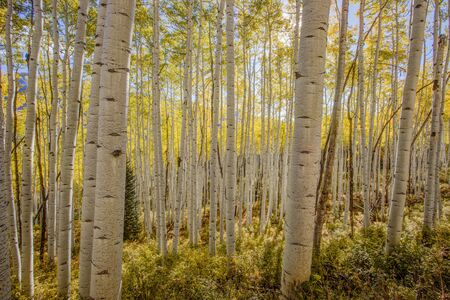fall trees: A forest of colorful aspen trees in fall.