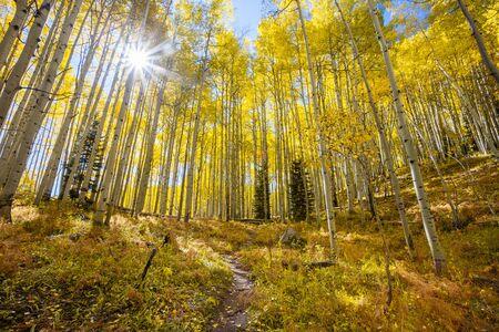 aspen leaf: Sunburst in Autumn  through an Aspen grove along Kebler Pass in Colorado Stock Photo