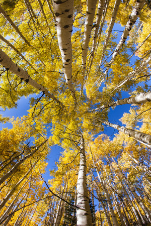 wide angle lens: Looking up into a forest of colorful aspen trees in fall taken with wide angle lens. Stock Photo