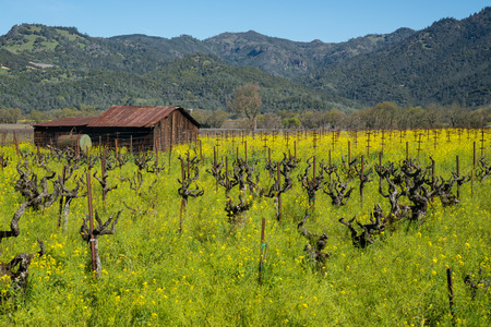wine road: Vineyard of wildflowers with old shack in Napa Valley, California