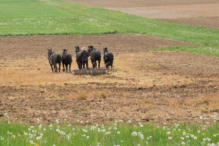 horse pull: Amish man plowing a field with a team of horses
