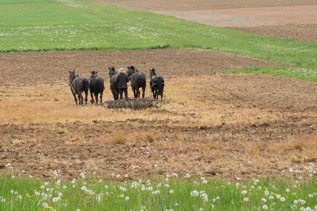 arando: hombre Amish arar un campo con un equipo de caballos