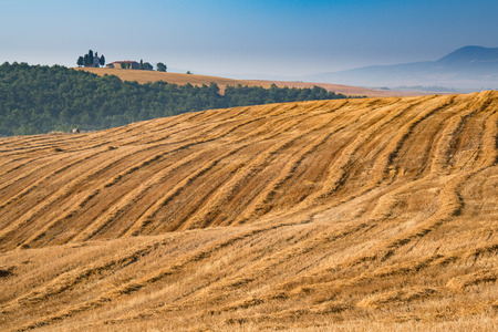grain fields: Rolling grain fields in Tuscany, Italy