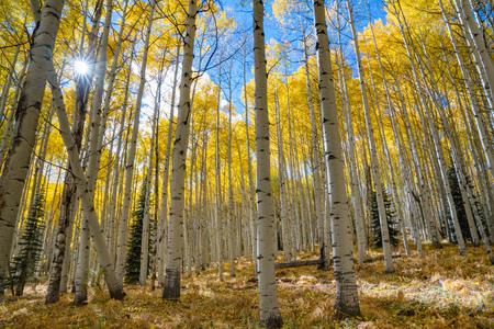Zonneschijn schijnt in de herfst door een bosje aspensbomen Stockfoto