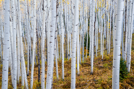 aspen leaf: Grove of aspen trees in the Rocky mountains of Colorado
