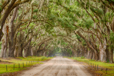 Live Oak trees with spanish moss line a road in Savannah, Georgia