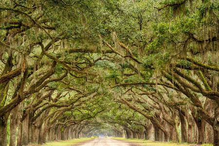 Live Oak árboles con musgo español línea una carretera en Savannah, Georgia