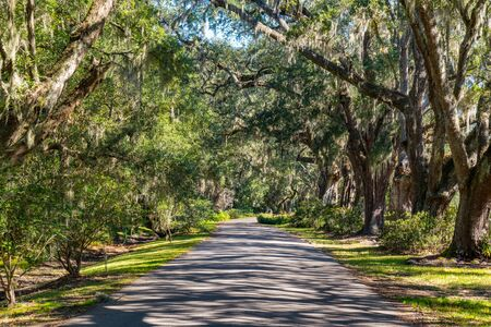 Road lined with live oak trees with spanish moss in South Carolina 写真素材