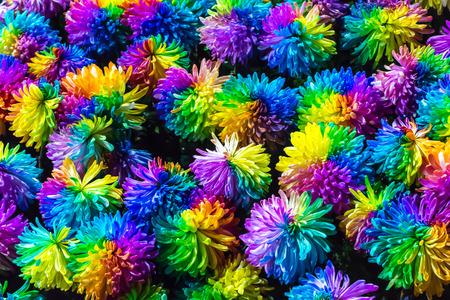 Chrysanthemum Rainbow Flower