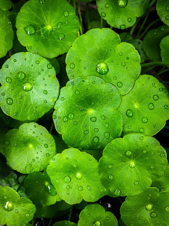 Gotu kola leaves with water drops on Flat lay. Nature concept Stock fotó