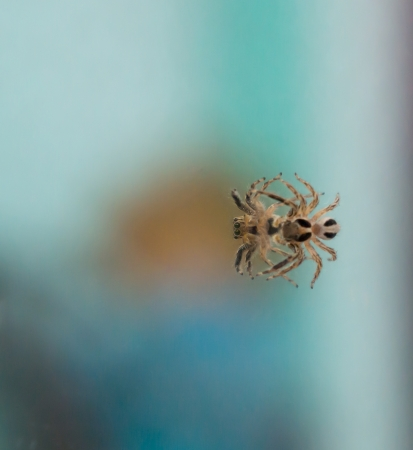 eight legged: The mirror image of little spider that is watching itself