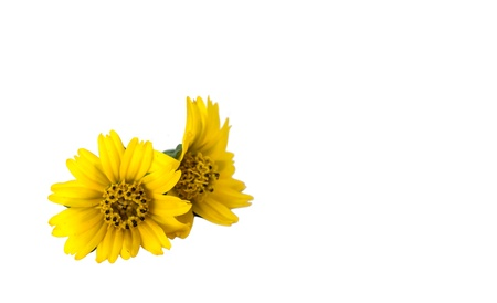 compositae: The isolate style picture of little yellow star that is compositae family flower Stock Photo