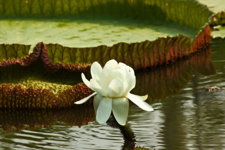 contryside: THAILAND-MARCH 8  Victoria waterlily blooming in the morning and have white at public park on Mach 8,2013,Time 9 32 11 in Contryside of Thailand