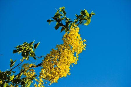 THAILAND APRIL 30: Yellow flower is Golden shower science name Cassia fistula at Ayutthaya province on April 30,2013 in  Thailand