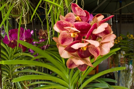 THAILAND NOVEMBER 15: Beautiful orchid VANDA  at plant house on November 15,2012 in countryside of Thailand. Zdjęcie Seryjne
