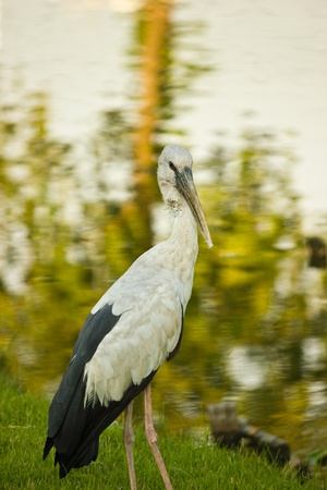 THAILAND MAY 14:  Asian openbill or Open-billed stork science name Anastomus oscitans at contryside on May 14,2013 in Thailand.