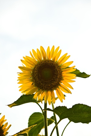 THAILAND - MARCH 1 : Sunflower science name is Helianthus annuus at Jatujak public park on March  1,2013 in Bangkok. Zdjęcie Seryjne