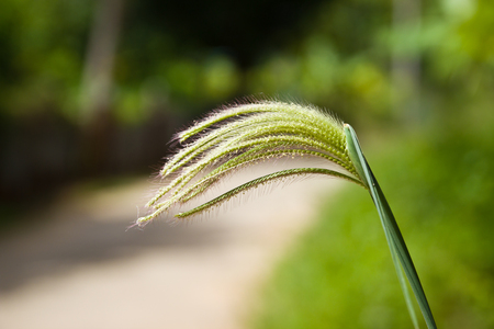 First reveal of swallow finger grass