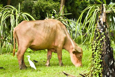 The albino buffalo