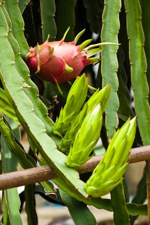 Fresh dragon fruit, scientific name is Hylocereus undatus  Haw  Britt