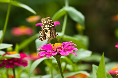 A butterfly and beautiful Zinnia at flower garden