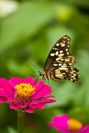 A  butterfly sucks to eat the nutrient from a flower to be food