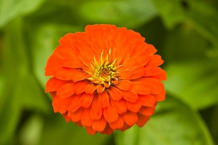 A Beautiful orange Zinnia, scientific name is  Zinnia elegans Jacq