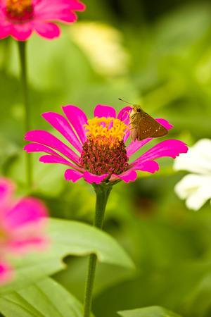A little butterfly seeks the food from pink Zinnia