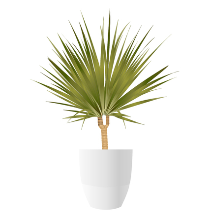 Dracaena Palm tree with pot on white background, vector illustration.