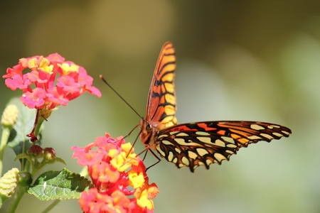 otganimalpets01: Close up of butterfly and red flowers Stock Photo