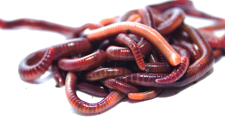 earthworm: earthworm, lumbricus, isolated on white, focus on foreground, white, cut out, cut-out, horizontal, creature, studio, cutout, animal themes, slimy, full length, studio shot, slimey, one animal, no people, insect, copy space, terrestris, long, white backgro