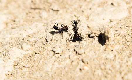 chitin: Ants coming out of their hideout Stock Photo