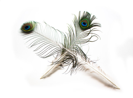 plume: peacock plume on white close-up