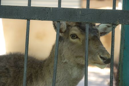 African deer in the cage
