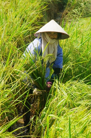 Vietnamese peasant in the rice field Stock Photo - 10048546